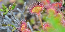Drosera rotifundila. Foto: intention